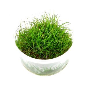 1-2-GROW Eleocharis sp. Mini